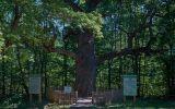 Новости: Голосуй за наш дуб - новости Чебоксары, Чувашия