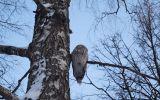 Новости: В холода совы прилетают в город за едой - новости Чебоксары, Чувашия