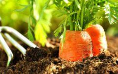 Прояви сноровку – посади морковку морковь