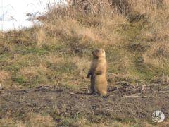 фото с сайта http://www.prisursky.ru/Весна пришла, сурки проснулись Присурский заповедник сурки