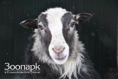 Овечка Марфа родила двоих ягнят Зоопарк Ельниковская роща