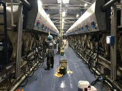 Коров в доильное отделение отправляют загонщики, дояркам остается только переходить со всем необходимым от коровы к корове.Я узнаю ее по вымени! Человек труда доярка