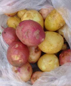 Собрали урожай картофеля, выращенного рассадой. Фото автораКартофель рассадой —  быстрый урожай Опыт картофель