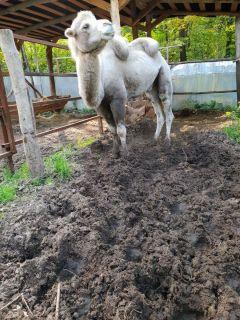 В загоне верблюда Бархана значительную часть участка занимает земля, перемешанная с навозом. Верблюд ее избегает, поскольку, наступив на нее, животное проваливается по колено.  Почему гибнут  животные в зоопарке? Зоопарк Ельниковская роща