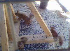 Dietskii_otriad.jpgЧетверо бельчат родилось у белки в Ельниковской роще (фото) бельчонок 2017 - Год Ельниковской рощи В зоопарке