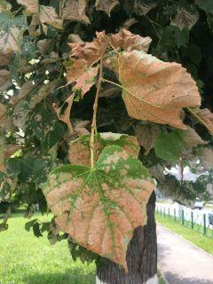 Липовый слизистый пилильщик прогрызает лист, оставляя лишь его ажурный скелет.Вот зараза!