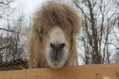 Верблюд Бархан спас День города Новочебоксарска и прославился на всю страну