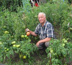 Фото автораА помидоры на загляденье! томаты помидор