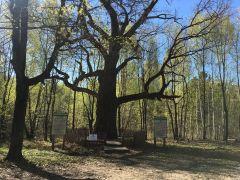 Самому старому дубу Чувашии 367 лет. Записки с пожеланиями люди вкладывают в кору дерева.Бежит ручей водопадом в Волгу Неизвестная Чувашия Колесо путешествий