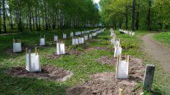 Кедровые посадки в Ельниковской рощеВ Ельниковской роще теперь растут кедры 2017 - Год Ельниковской рощи