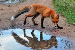 Пошел в лес — бойся лисы,  а на рынке — всякой заразы Среда обитания бешенство