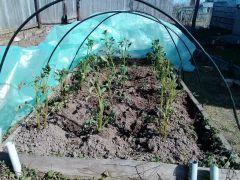 Фото Алены Тимофеевой Как вырастить морковь и картошку морковь Мнения дачников картофель