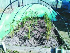 Картофель рассадой —  быстрый урожай Опыт картофель