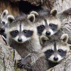 В зоопарке Ельниковской рощи у уссурийских енотов появились малыши Ельниковская роща Зоопарк