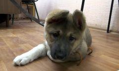 Щенок. Фото: МВДПолиция нашла похитителя щенка, собаку вернули чебоксарской хозяйке кража