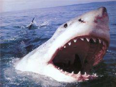 akula.jpgТуристы Приморья купаются несмотря на предупреждение об акулах туристы МЧС нападение акулы