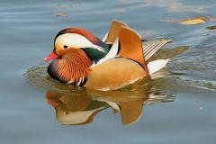 Чебоксарский залив заселят экзотическими птицами Чебоксарский залив