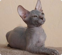 """""""Я нашел вашего питомца"""" — новочебоксарец в поисках своей породиской кошки попался на уловку мошенников Пропала кошка интернет-мошенничество"""