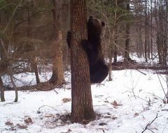 Фотоловушка: медведьЗапасной карман жизни на Суре Присурский заповедник