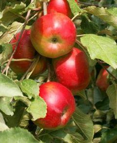 Плодовый сад Садовод