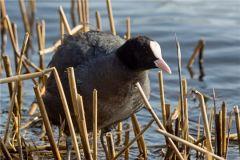 Так выглядит лысухаОкольцованная лысуха впервые добыта в Чувашии Птица года