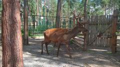 maral.jpgВ зоопарк Новочебоксарска прибыло животное с родины Деда Мороза 2017 - Год Ельниковской рощи В зоопарке