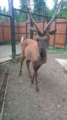 maral_1.jpgВ зоопарк Новочебоксарска прибыло животное с родины Деда Мороза 2017 - Год Ельниковской рощи В зоопарке