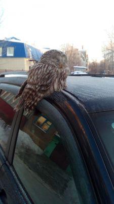 В Новочебоксарске сова целый час просидела на крыше автомобиля птицы в городе