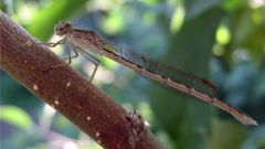 В Батыревском районе обнаружен новый для Чувашии вид стрекозы
