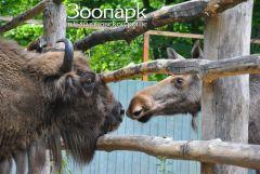 """""""Теперь мы соседи!"""" — Мулана знакомится с лосенком Галиной.  Фото предоставлено администрацией Ельниковской рощиЗдравствуйте,  будем знакомы! Зоопарк Ельниковская роща"""